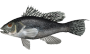 blackseabass.png